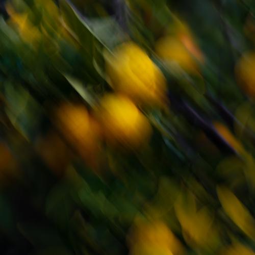Lemons at dusk